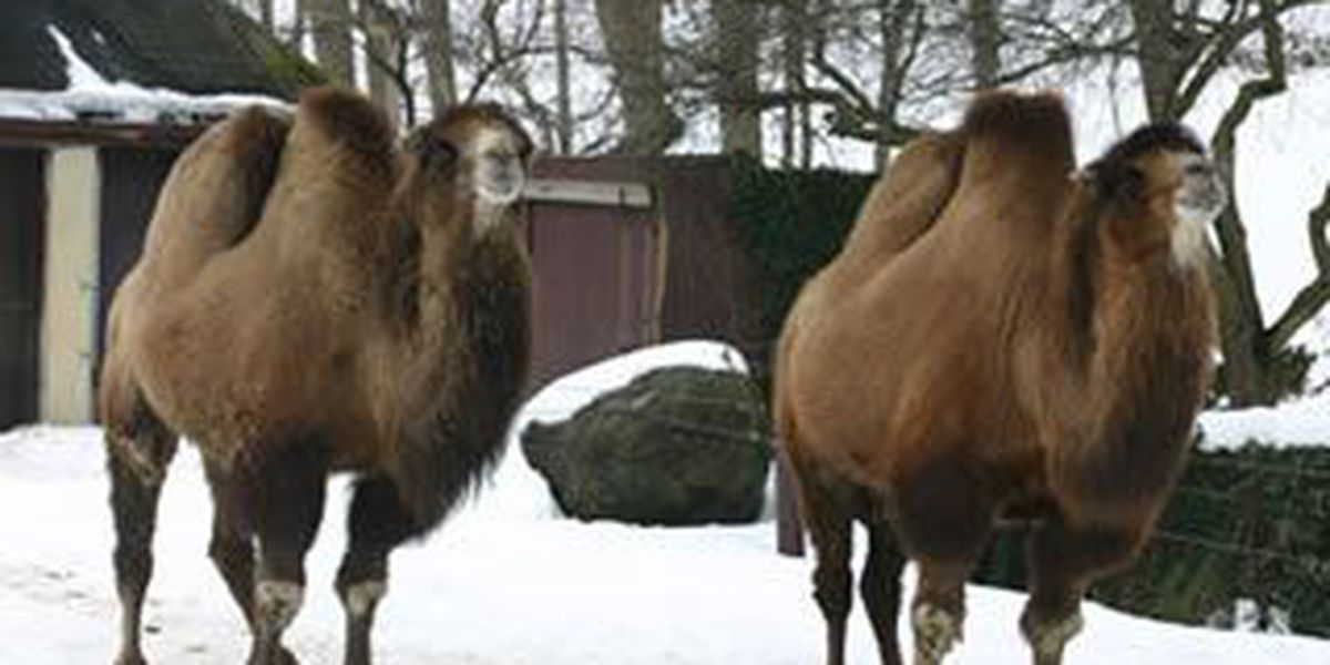 Bactrian camel dies at Cleveland Metroparks Zoo