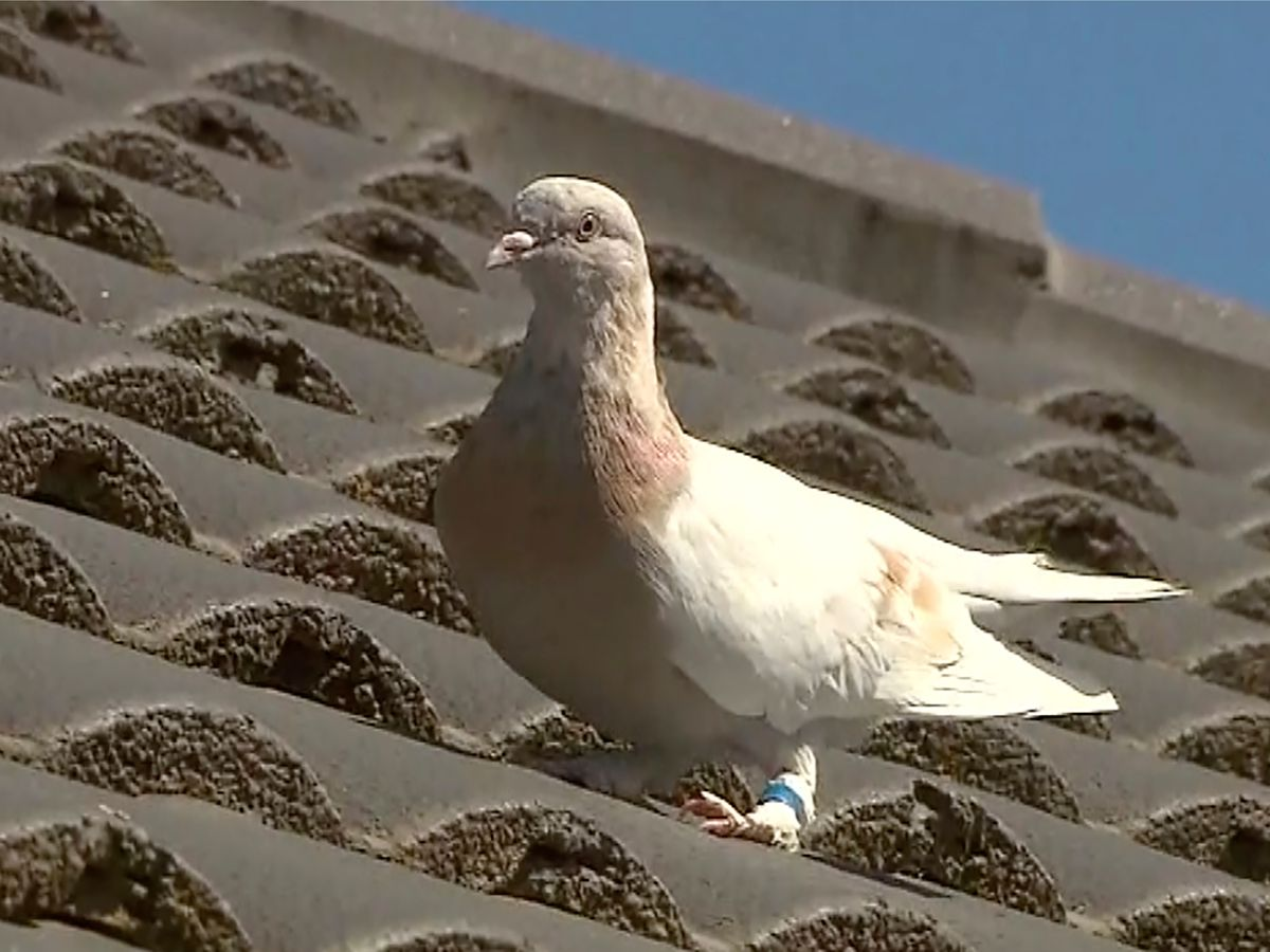 Fake US leg band gets pigeon a reprieve in Australia