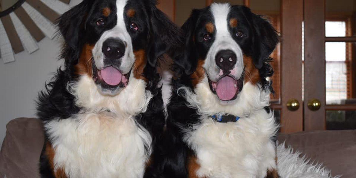 Facebook post on North Canton stolen dogs breaks social media; owner offering reward for pets' safe return