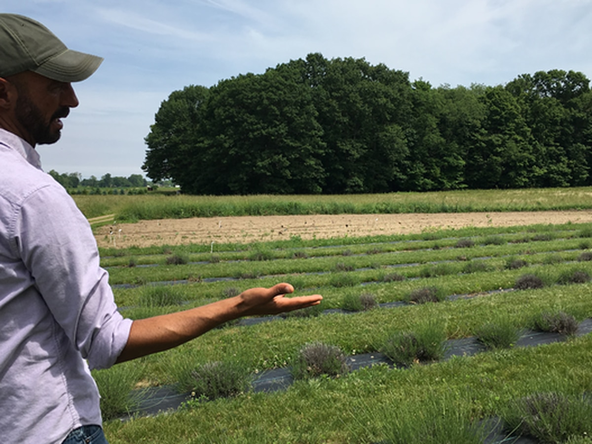 Spring rains wiping out this season's lavender crop in eastern Ohio