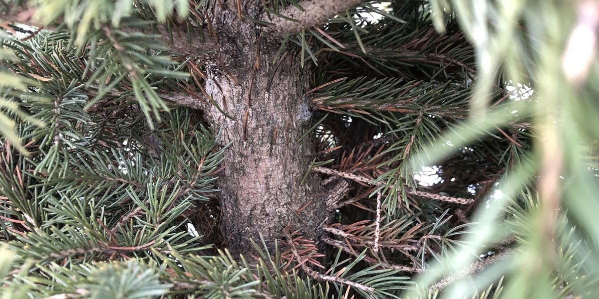 Your Northeast Ohio Christmas tree is crawling with bugs inside your home; some firs are worse than others