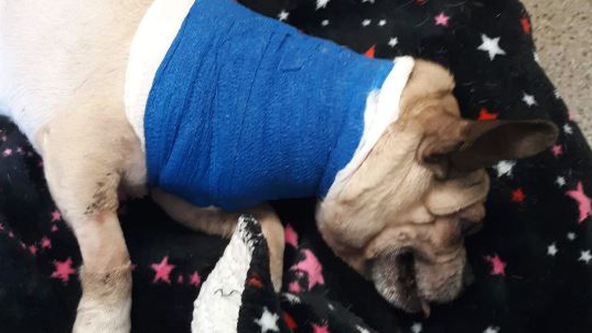 Dog recovering after being shot multiple times in Mansfield