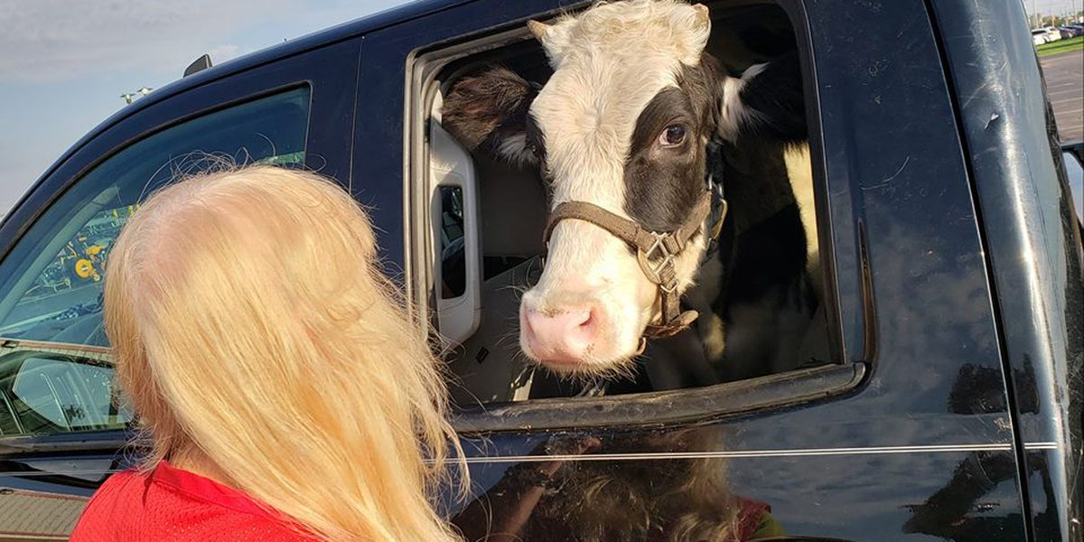 Man trucks his cow around in the backseat on an Ohio interstate (video)