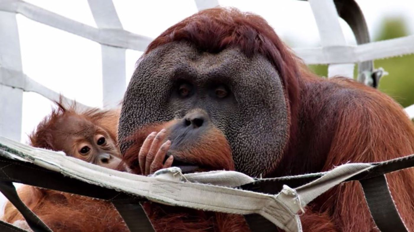 """Orangutan Berani has embraced his role as """"Mr. Mom"""" to 2-year-old daughter Cerah. He cuddles with her, and they sleep together each night. He is also patient with her and runs after her if she cries."""