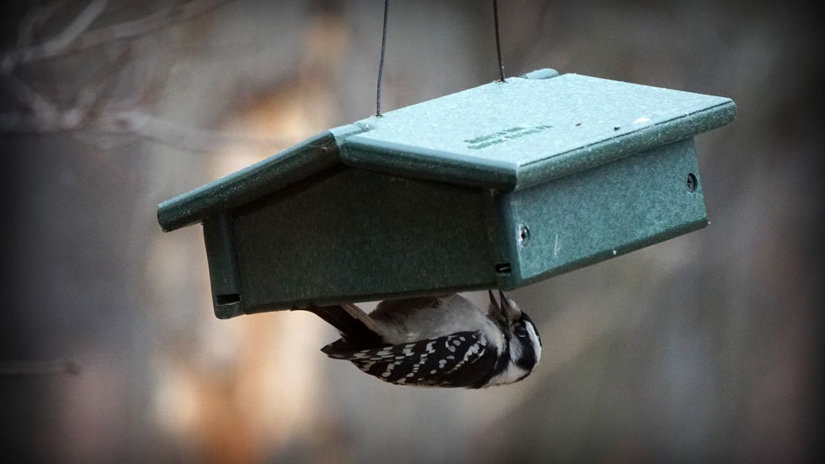 Bird feeders in Strongsville violate city ordinance?