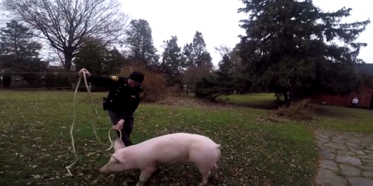 Escaped 200-pound pig gives deputies a run for their money in Erie County (video)