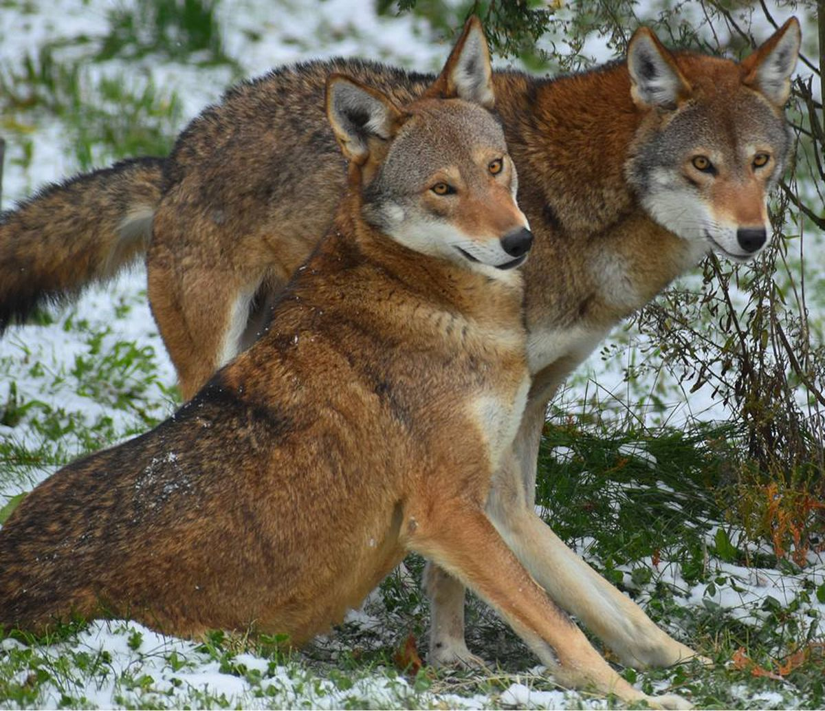 Akron Zoo Welcomes Pair Of Critically Endangered Red Wolves