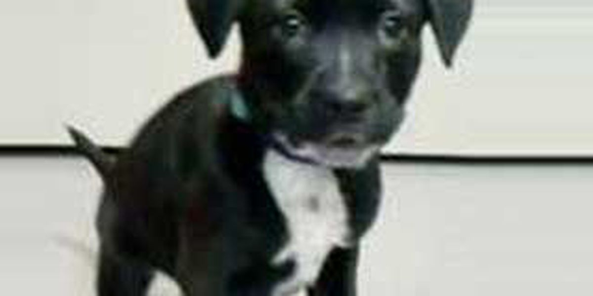 Canine crook steals puppy from the APL