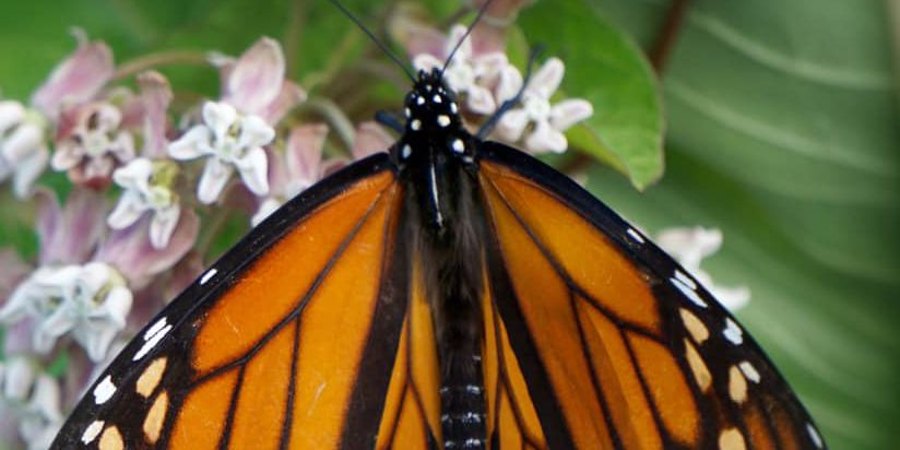 5 best places to get a glimpse of the Monarch Butterfly migration in Northeast Ohio (photos)