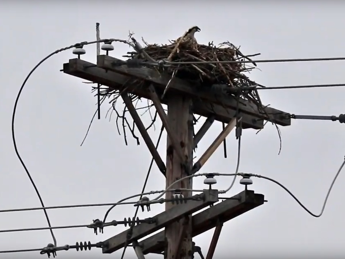 Before they catch fire, FirstEnergy using drones to remove protected birds from power poles