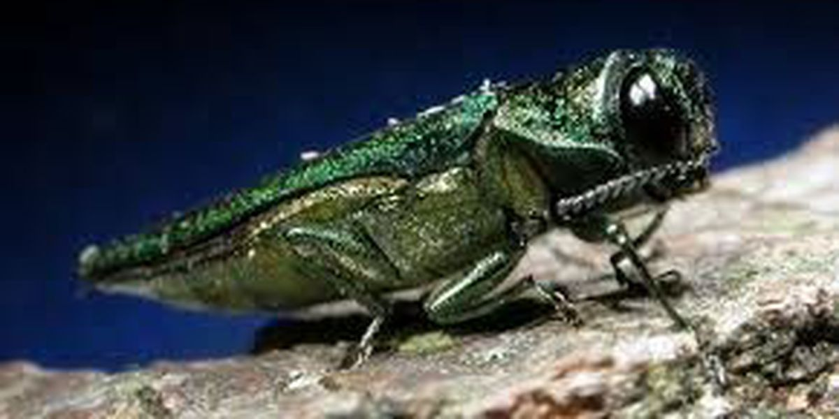 Will the cold weather kill off the Emerald Ash Borer?