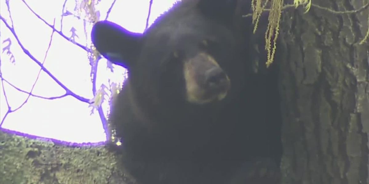 Bear in tree captivates neighborhood for hours