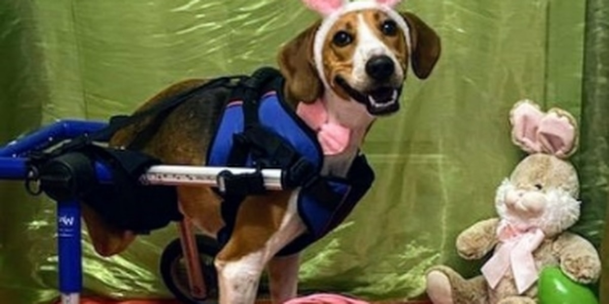 2-legged dog from Ohio named Lt. Dan chosen as new Cadbury Bunny