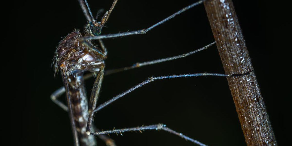 Summit County mosquitoes test positive for West Nile Virus
