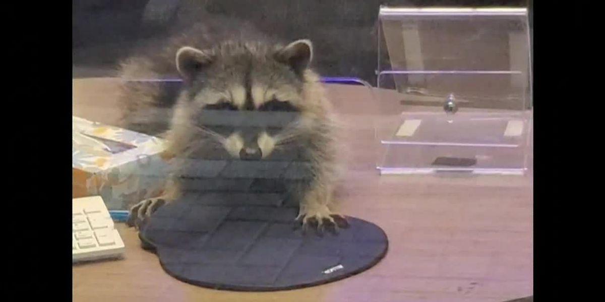 Raccoons break into Calif. bank