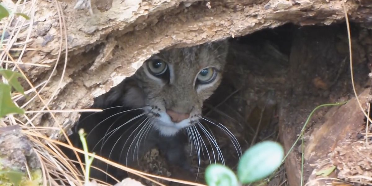 Is there a bobcat in Stark County?