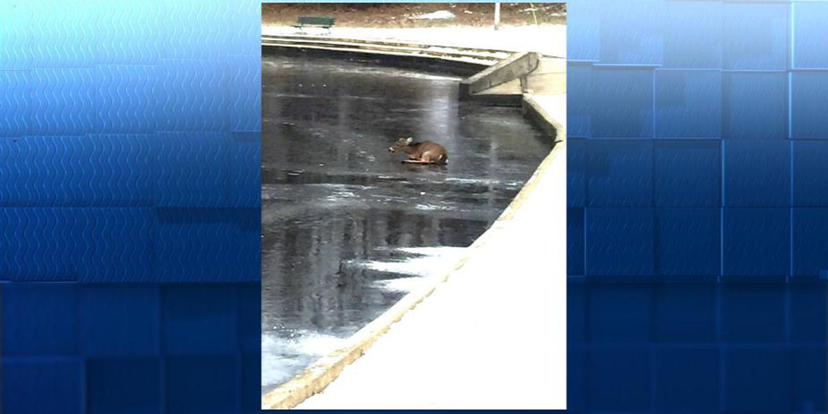 Parma police rescue deer from icy pond