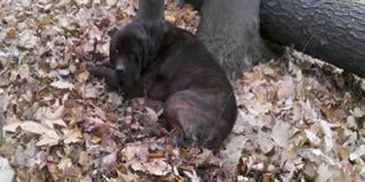Dog shot twice, chained to tree and left for dead