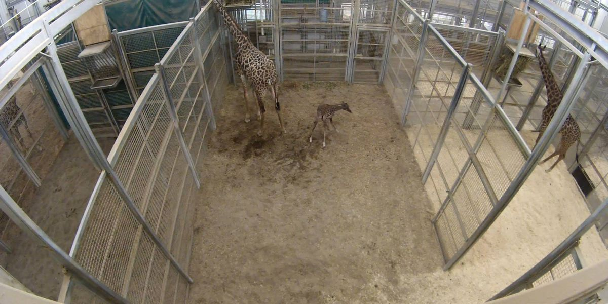 Ohio zoo welcomes first giraffe birth in nearly 20 years