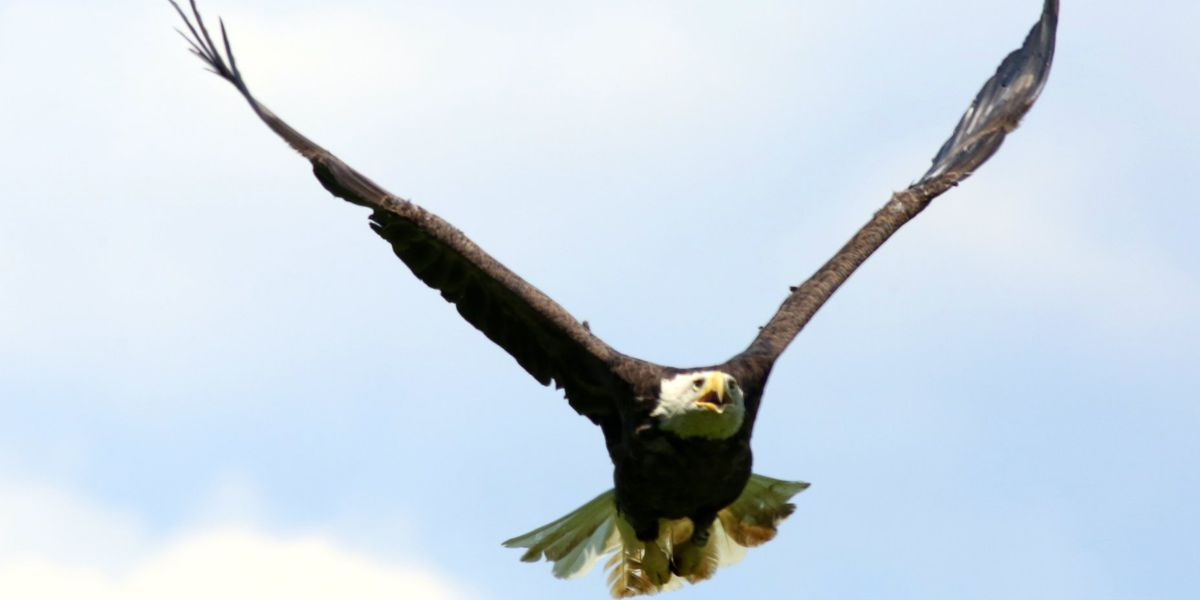 Wildlife officials search for person who shot bald eagle
