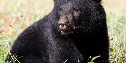 There are 50-100 bears in Ohio right now, ODNR says