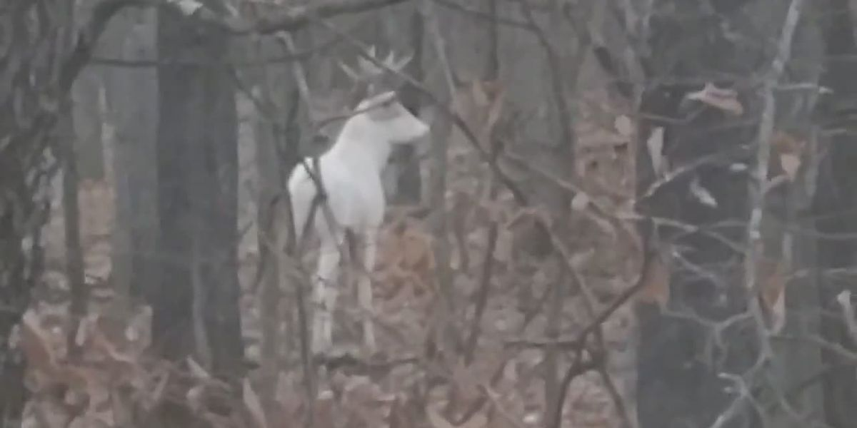 Video: Bowhunter spots albino buck in northern Wisconsin