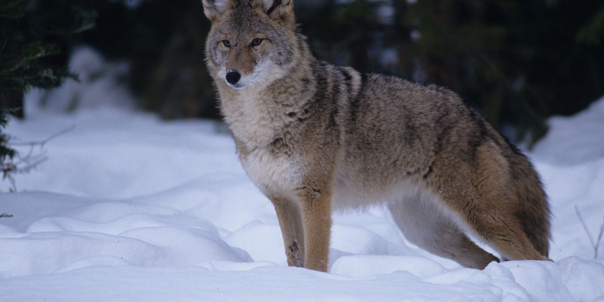 Coyote activity increases in the winter; here's what to do if you spot one in Ohio