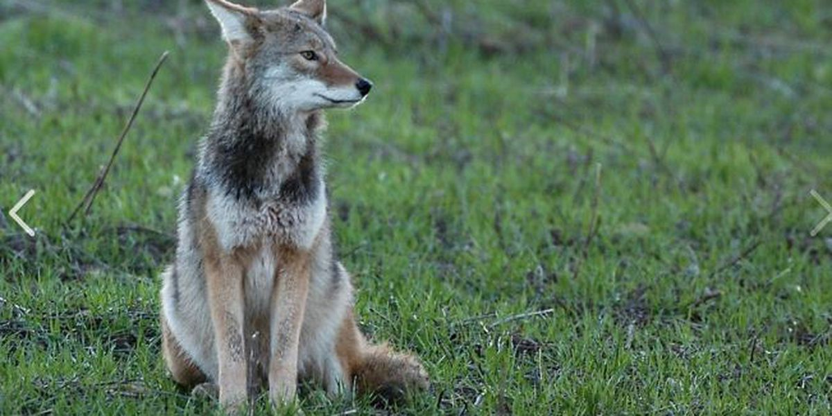 Coyote spotted near Bay Village, residents urged to be aware