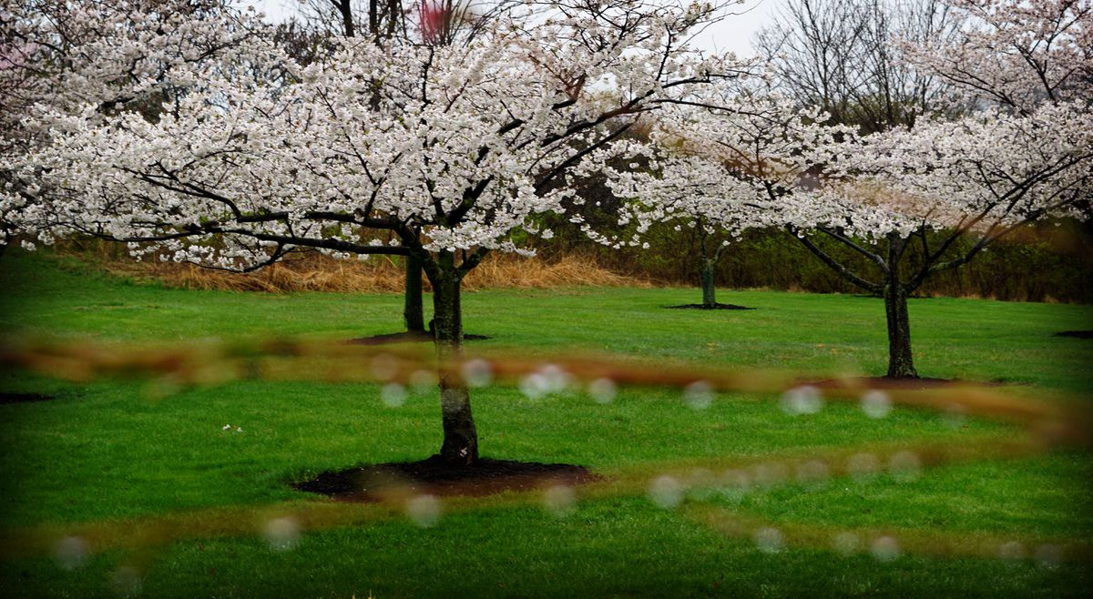 Circle K Gas Prices >> Photographs capture cherry bloom explosion on 'blossom ...