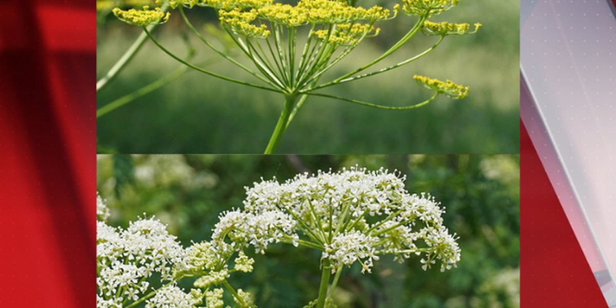 2 types of invasive weeds that can kill you are growing in Ohio this season, OSU warns (graphic photo)