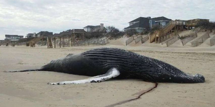 Dead whale washes up on Outer Banks beach shore