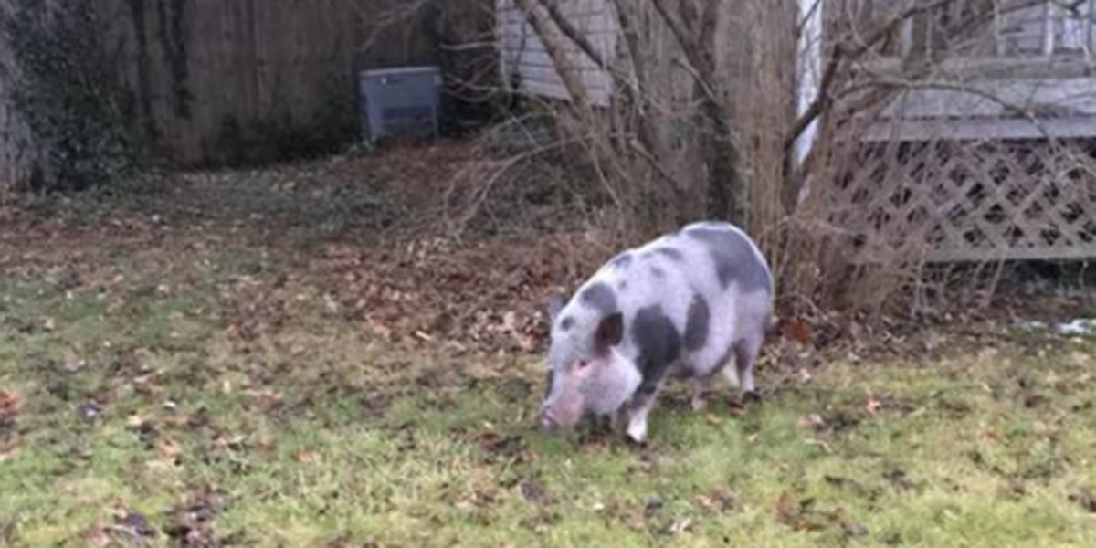 Missing pig in Massillon, police trying to find owner