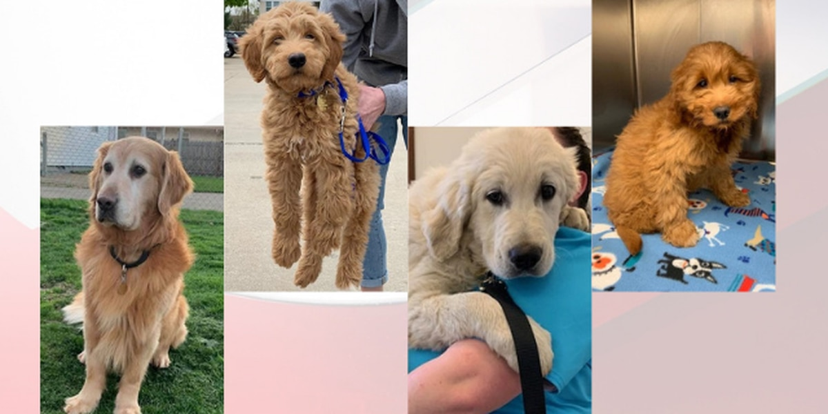 Ohio animal rescue receives overwhelming response after plea for foster homes to take in golden retrievers