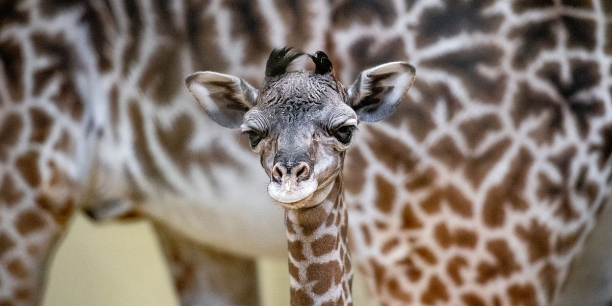 Cleveland Metroparks Zoo introduces newest giraffe calf to the herd