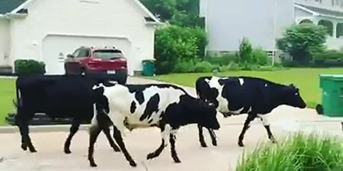 Chardon cows that break free from farm prompt cookie celebration