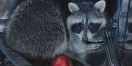 Raccoon breaks into North Ridgeville home, takes nap in dishwasher