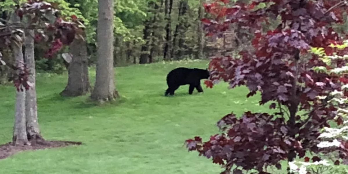 Another bear sighting in Northeast Ohio, this time in Pepper Pike