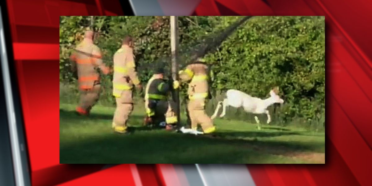 Mansfield firefighters rescue rare albino deer (video)