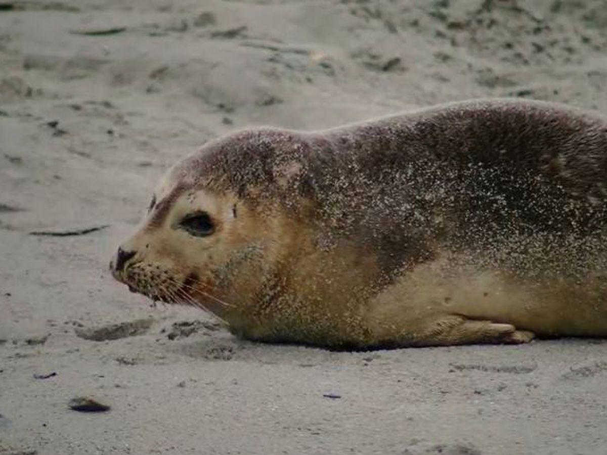 Rare sighting of seal along Myrtle Beach's coast