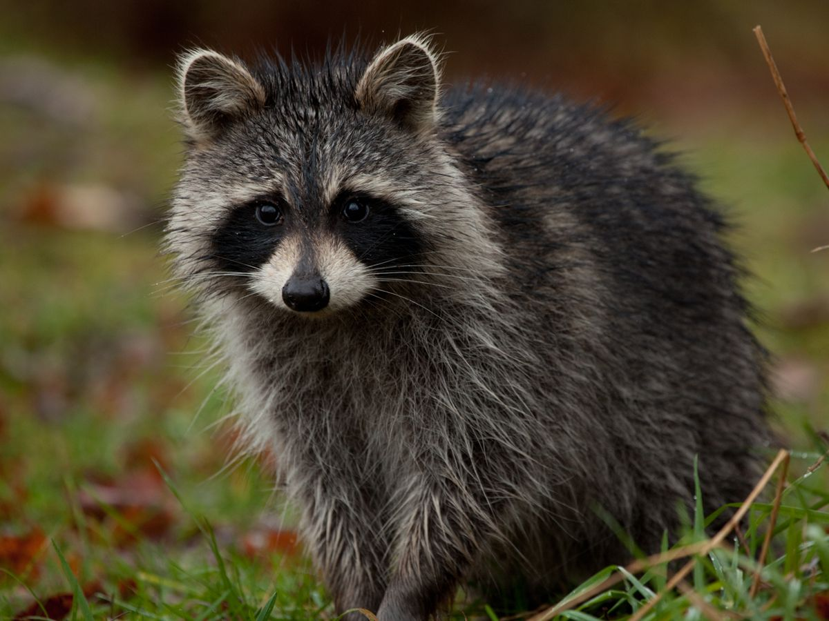 Portage County state park recruits hunters to wipe out raccoon problem
