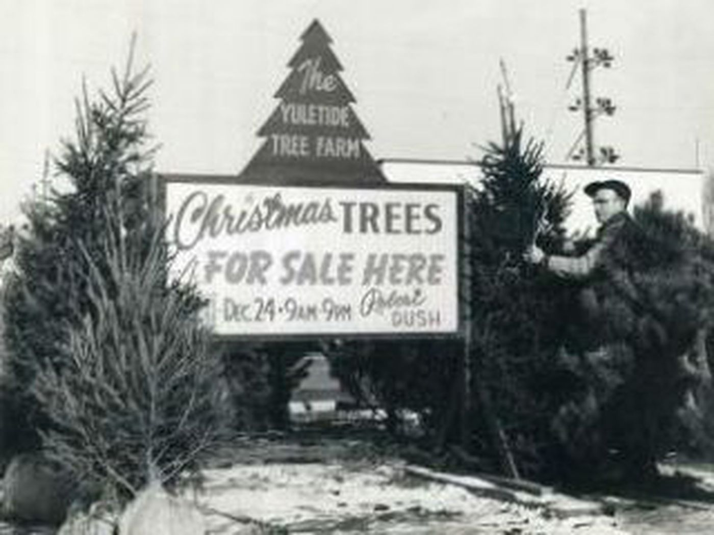 Root rot could limit your Christmas tree selection