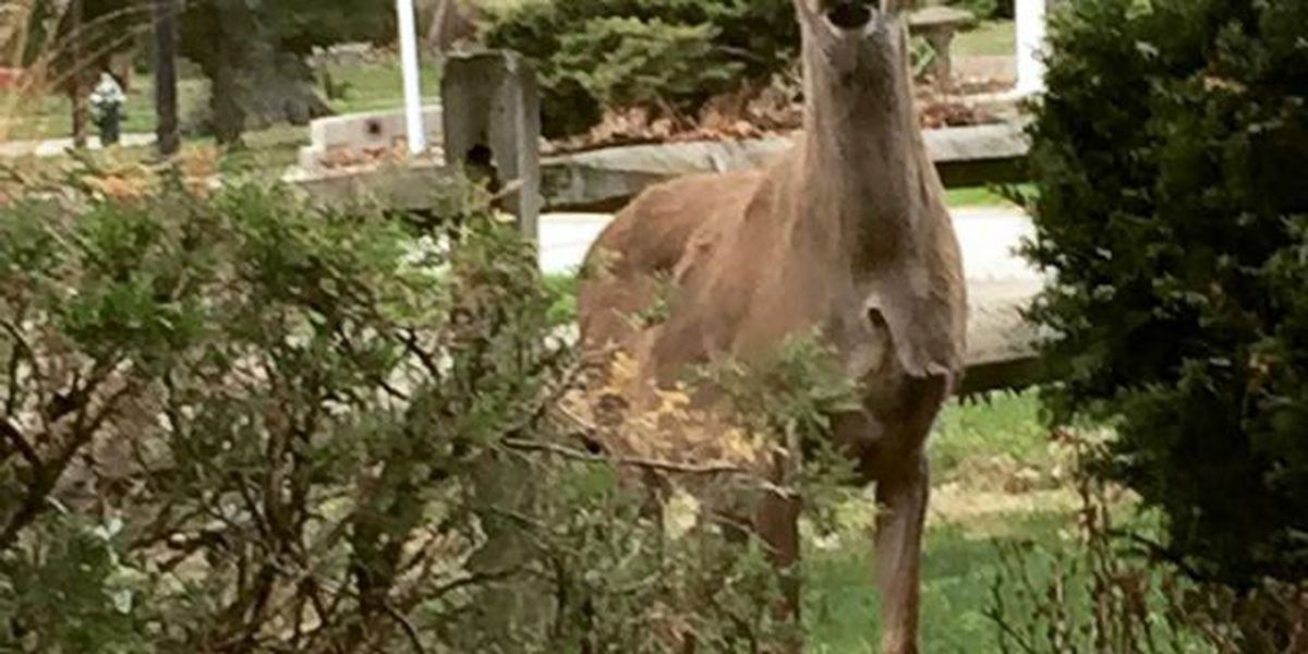 Westlake City Council approves deer cull to curb accidents