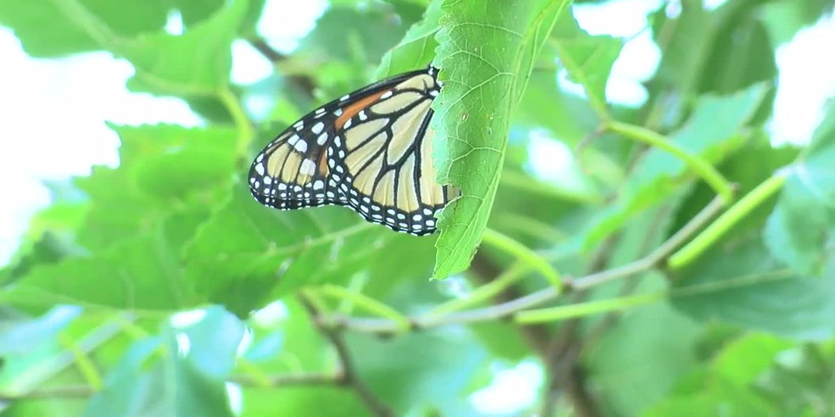 Monarch butterflies stop at Lake Erie's Wendy Park before heading to Mexico
