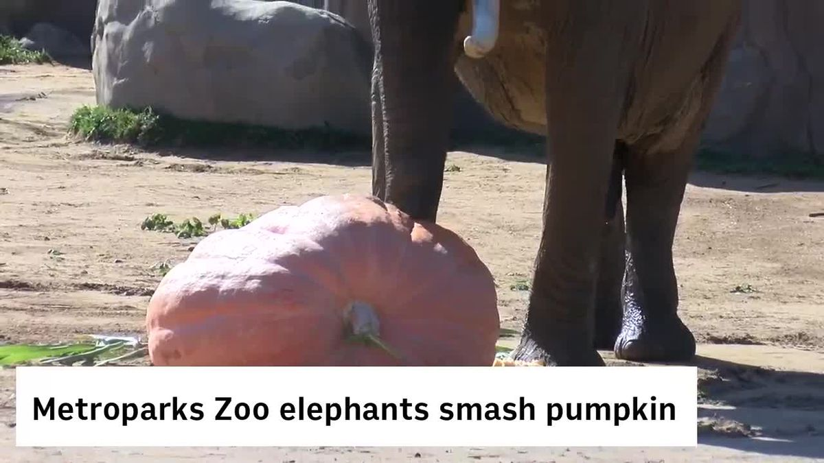 Watch elephants smash a 1,300-pound pumpkin at the Cleveland Metroparks Zoo