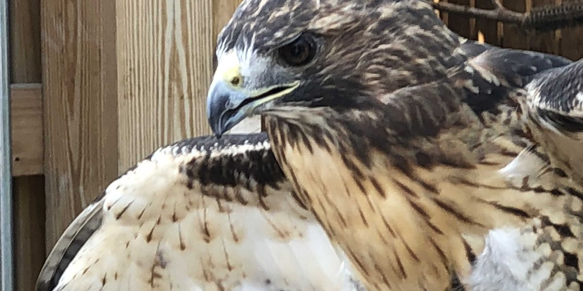 By eating pigeon, red-tailed hawks are thriving in downtown Cleveland
