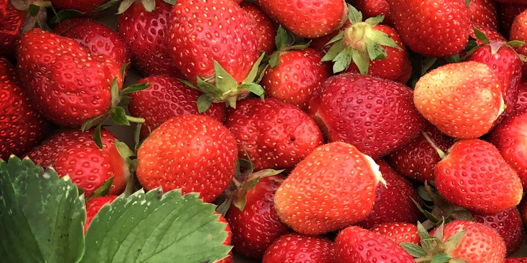 Rain is not going to dampen strawberry season at Patterson Fruit Farm in Chesterland