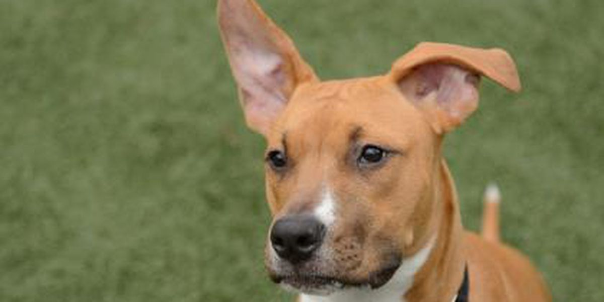 Cleveland APL Pet of the Week: Kelly Clarkson is a playful, young pup in search of a loving home